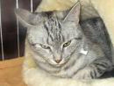 Mačky v AxiPIX  europska mačka afacca8307c