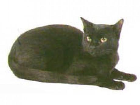 Bombajská mačka  efd6ae77605